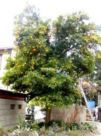 阿久津家の柚子の木