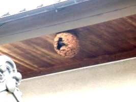 渡邉家のスズメバチ巣